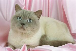 Colorpoint Shorthair Cat Breed Pictures | Fimho