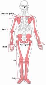 File Appendicular Skeleton Diagram Svg