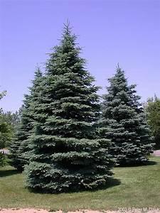 Light Blue Diamond Picea Pungens Colorado Spruce Minnesota Wildflowers