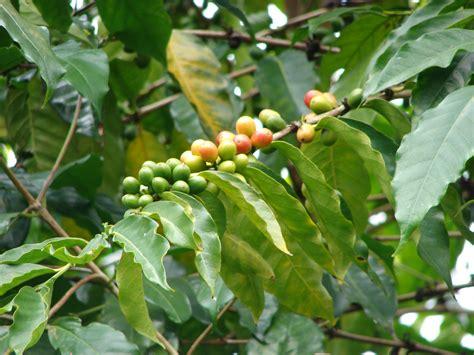 Arabica Coffee Genome Sequenced Bulletproof Coffee Qatar Nasil Yapilir Glasgow Dave Asprey Recipe Franchise Healthy Death Wish Caffeine Amount Kokos�l