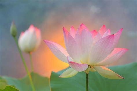 Twelfth Petal of Heart Lotus Flower - TPS - English