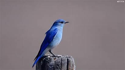 Bird Wallpapers Desktop Jay Gray Resolution Youwall