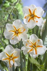 Daffodil Varieties
