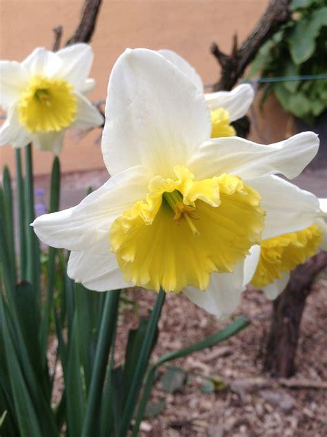 primavera in giardino per l arrivo della primavera primule ranuncoli e narcisi