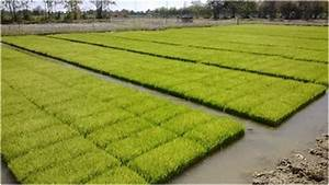 Wet/dry paddy cycles using Azolla | The Azolla Foundation