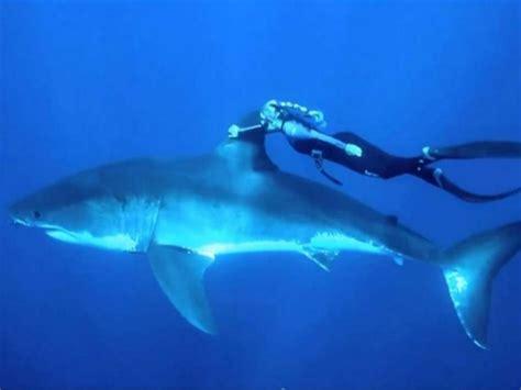 tiburon blanco fotos