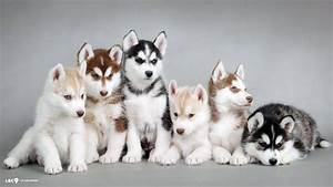 Siberian Husky Wallpapers - Wallpaper Cave