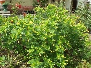 Welche Pflanzen Vertragen Sich Tabelle : japanische wunderblume mirabilis jalapa mein sch ner ~ Lizthompson.info Haus und Dekorationen