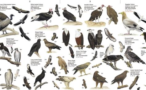 top 28 southern california birds of prey identification