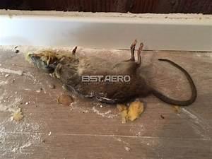 Comment Se Débarrasser Des Souris Dans Les Murs : elimination odeur de rats morts ou autres rongeurs ou ~ Melissatoandfro.com Idées de Décoration