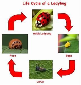 Lifecycle Of A Ladybug   Real Pics