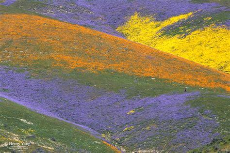 wildflowers super bloom st trip carrizo plain national monument california henry