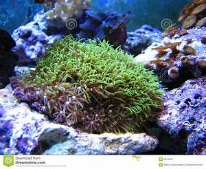 Green Star Polyp Coral Royalty Free Stock Photo - Image ...