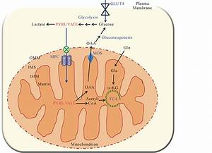 The Mitochondrial Pyruvate Carrier And Metabolic Regulation