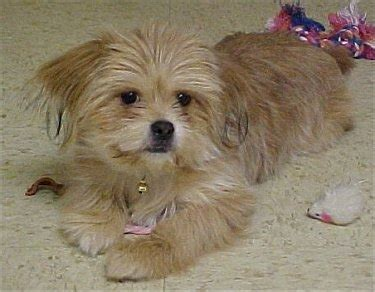 yorkinese yorkie  pekingese mix info temperament
