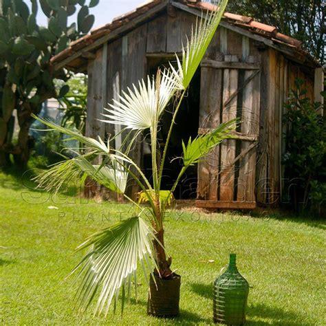 Muda da Palmeira Washingtonia - Safari Garden