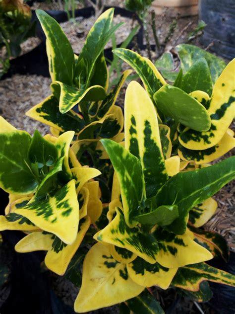 tanaman bunga puring batik anget mas anget mas