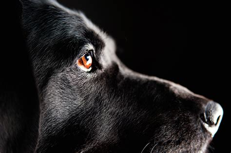 12096 professional photographs of animals focus buddy the black lab daily tag