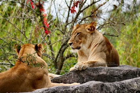 Lions Tigers Guinea Fowl Given Eyes See