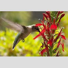 1000+ Ideas About Attracting Hummingbirds On Pinterest