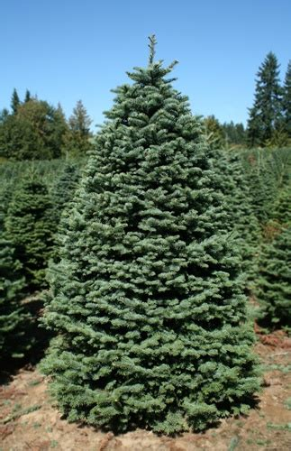ft noble fir trees green valley christmas trees