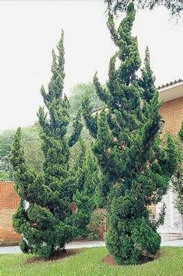 juniperus chinensis kaizuka pb big jims garden centre