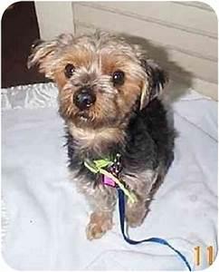Sweet Pea   Adopted Dog   Naugatuck, CT   Yorkie ...