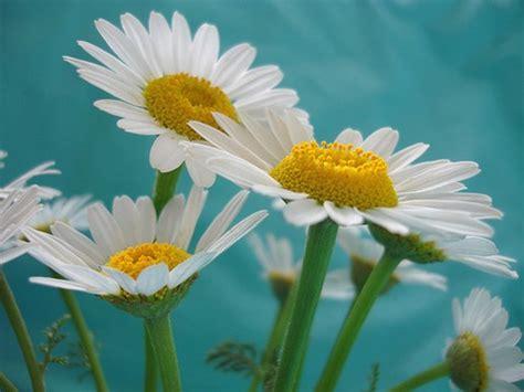 cute white daisiesjpg