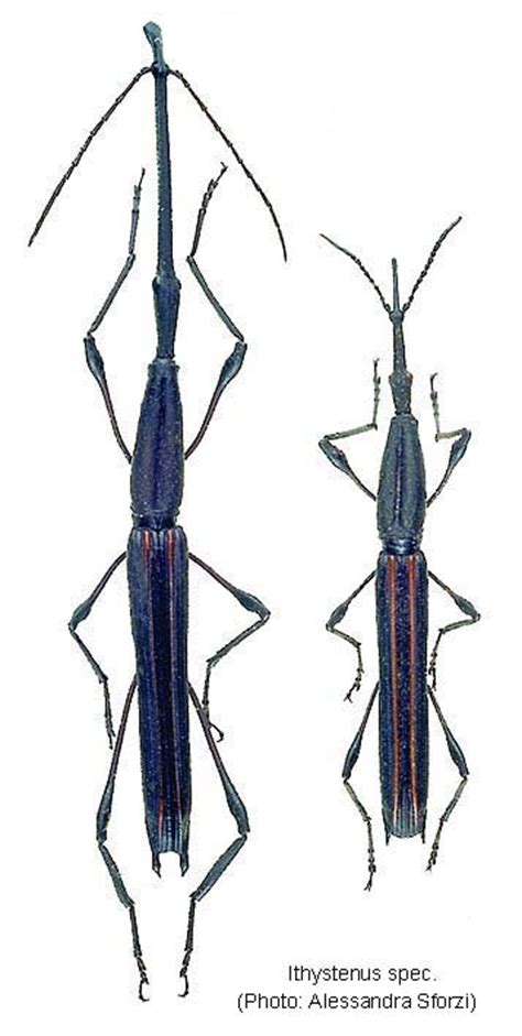 papua insects foundation coleopterabrentidae