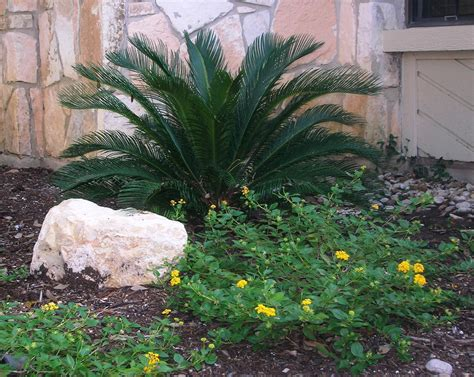 sago palm yellow lantana  coming  sago palm