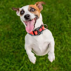 Is Your Dog Excited Or Stressed? - SitDropStay - Dog Training