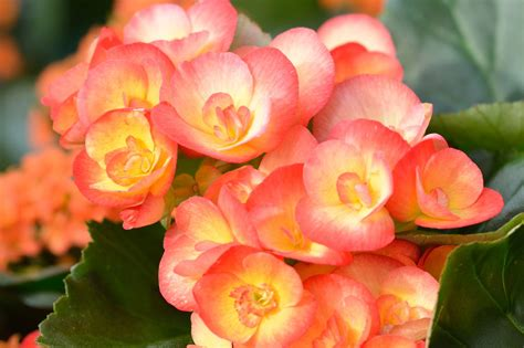 begonia plant varieties magnificent varieties of begonia plant to plant in your garden