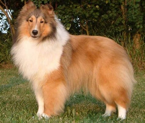 shetland sheepdog breed description history  overview