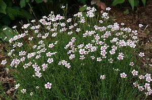 Perennial: Dianthus deltoides Arctic Fire: Maiden pink ...
