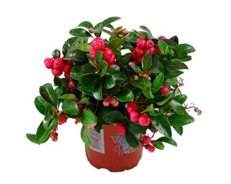 gemüse anbauen hochbeet gaultheria scheinbeere lexikon f 252 r kr 228 uter und pflanzen