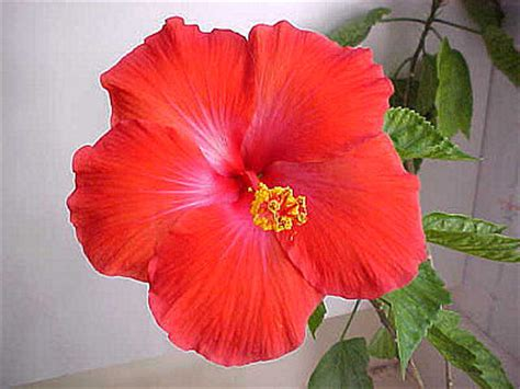 caring for hibiscus in pots related keywords suggestions for hibiscus bush care