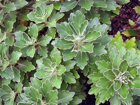 plante d ornement 224 feuillage argent 233 8 vari 233 t 233 s