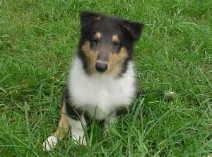 Dog Collie Puppies for Sale