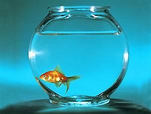 Goldfish-1-