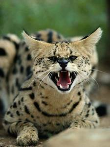 Can a Serval Be Kept as a Pet? | Animals - mom.me