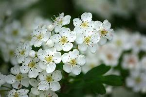 Daily Flower Candy: Crataegus monogyna | The Frustrated ...