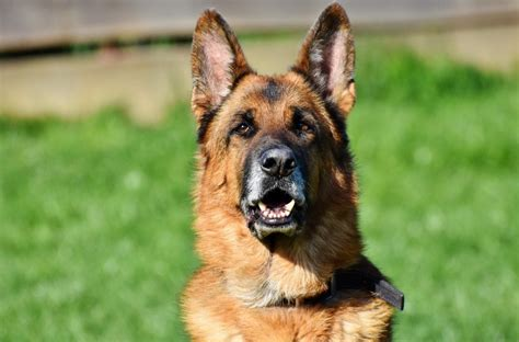 German Shepherds as Police Dogs