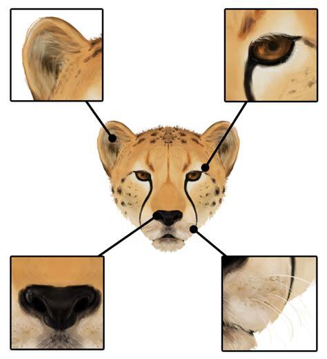 draw animals big cats  anatomy  patterns