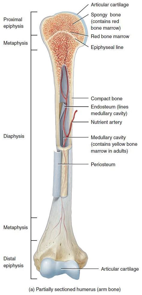 Home » anatomy bone labeling » anatomy bone labeling 603 labels are usually small in size, so you should carefully choose the font of the texts to make sure it is. Medical Physics 401 > Van-heerden > Flashcards > Integumentary, and musculoskeletal systems ...
