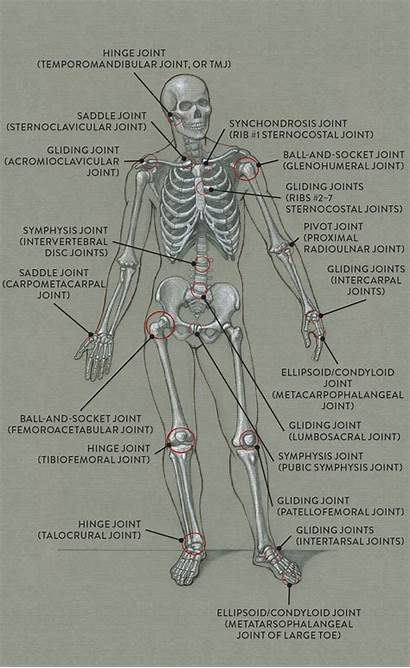 Joints Anatomy Human Main Classic Joint Skeleton