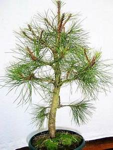 Bonsai Garten Hamburg : bildergebnis f r bonsai nadelbaum kaufen garten bonsai ~ Lizthompson.info Haus und Dekorationen