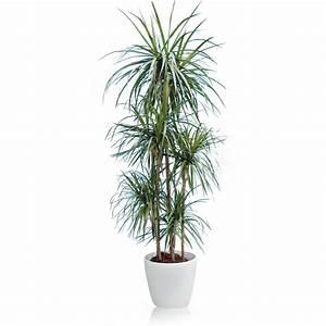 Plante D Intérieur Haute : dracaena 5 pieds rempot dans pot lechuza classico premium ~ Dode.kayakingforconservation.com Idées de Décoration