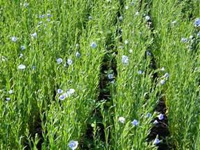 How to Grow Flax Seed Plants