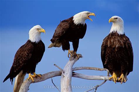 council   bald eagles