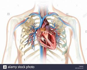 Human Heart Cross